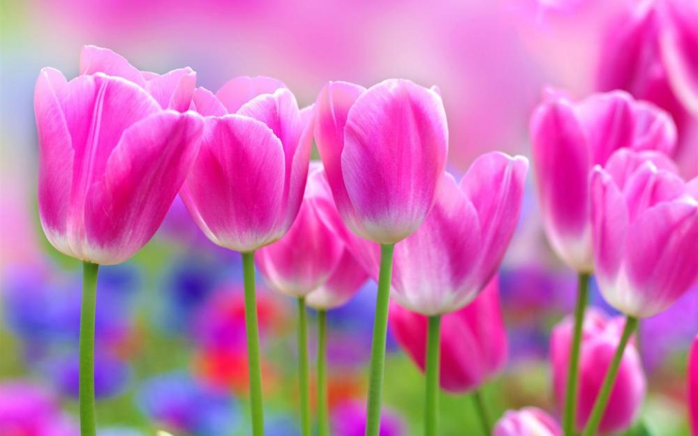 Beautiful-pink-tulips-flowers-blur-background_1440x900.jpg